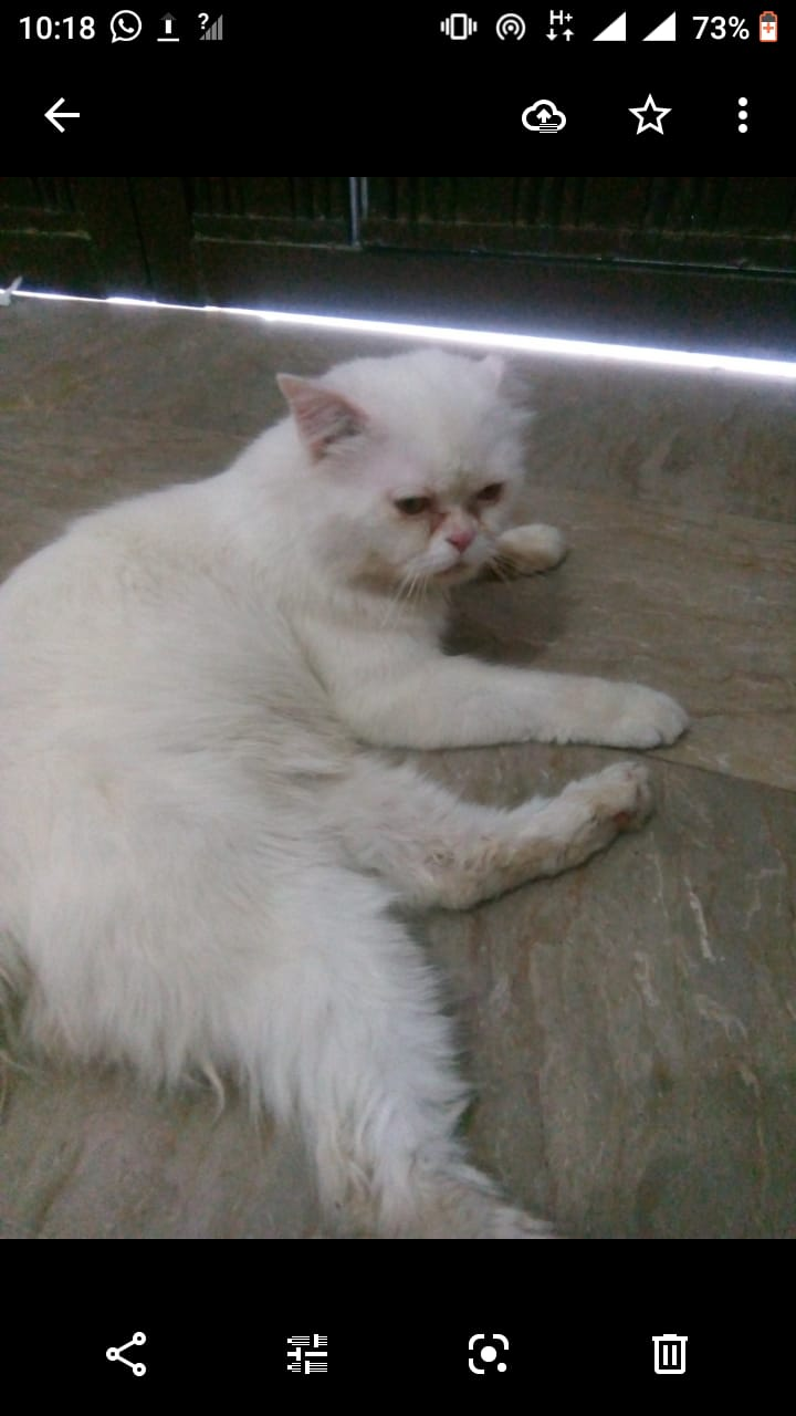 Persian male trained cat